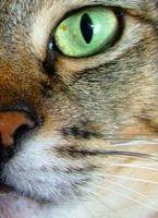 Pérdida de peso en gatos mayores