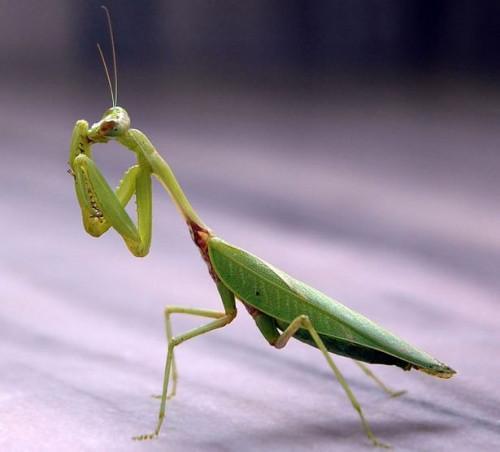 Cómo cuidar a un joven Mantis religiosa