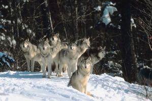 Cuáles son los rangos para los lobos?