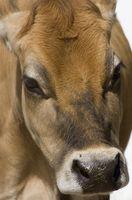 Cómo construir una zona Barn para una vaca lechera