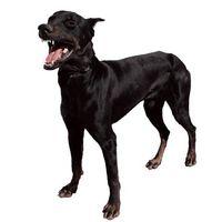 Medicina natural para los gusanos del corazón en los perros
