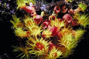 Cómo cuidar los corales blandos