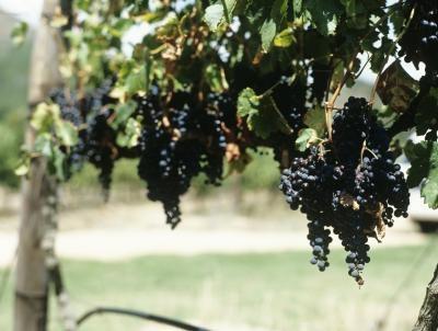 Diferencias entre rojas y blancas uvas de vino