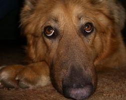 Amarillo-verde secreción de los ojos en los perros