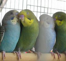 Diferencia entre un hombre y Parakeet Mujer