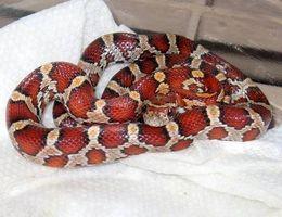 ¿Cómo hacer las serpientes de maíz gemela?