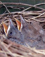 Cómo alimentar a las aves de bebé comida para gatos