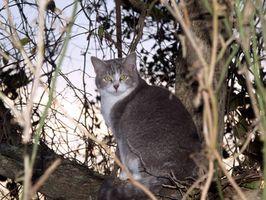 Cómo rescatar a un gato de un árbol de pino