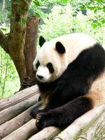 La información sobre cómo pandas gigantes y los pandas rojos son diferentes