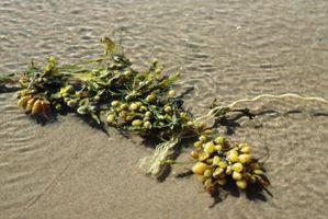 Los tipos de algas Jabón y sus propósitos