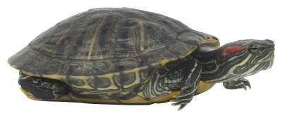 Cómo cuidar de un ojo hinchado de una tortuga de orejas-Rojo