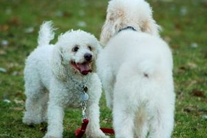 La selegilina HCL para la enfermedad de Cushing en Mascotas