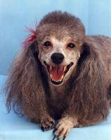 Las mejores maneras de cuidar los dientes y las encías de un perro