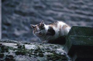 Los signos de un gato salvaje embarazada