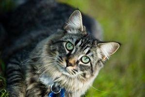 Peligros de camada de pino gato