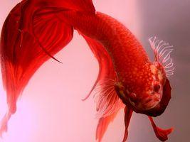 ¿Cuáles son las diferencias entre los peces macho y hembra Betta?