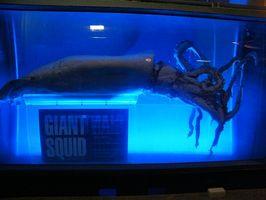 Especializada partes del cuerpo de calamares gigantes