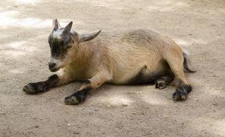 Cuidado de cabras enanas nigerianas recién nacidos