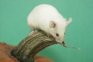 Etapas de desarrollo del embrión de ratón
