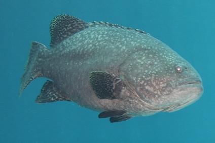 ¿Qué peces de agua salada son comestibles?