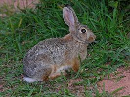Cómo hacer una trampa para conejos