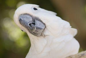 Cuáles son las causas de lipomas en las aves?