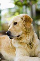Casera canina Reprimir Brace