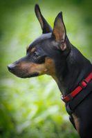 Información de la raza de Manchester Terrier