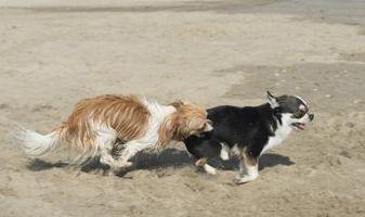 La terminación del embarazo para perros