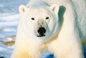 Las diferencias en los mecanismos de alimentación entre los osos polares y los osos panda