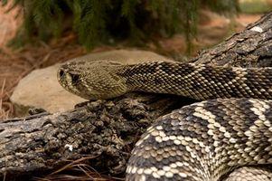 Los reptiles venenosos en Illinois