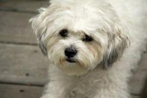 ¿Por qué está dando vuelta el pelo blanco de mi perro de Brown?