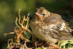 La dieta del bebé salvaje Finch