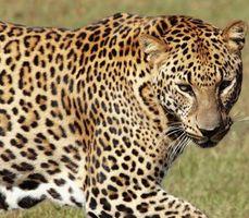 Cómo tinte de los puntos del leopardo para un peinado de escena
