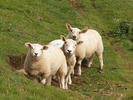 Cómo quitar Keds de las ovejas