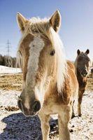 Las adaptaciones de los caballos domésticos