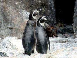 La diferencia entre un pingüino macho y una hembra pingüino