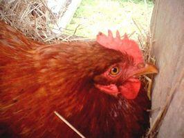 Cómo establecer huevos debajo de una gallina clueca