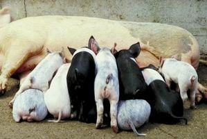 Cómo criar cerdos en una estructura de hormigón