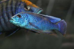 Información de peces de agua salobre