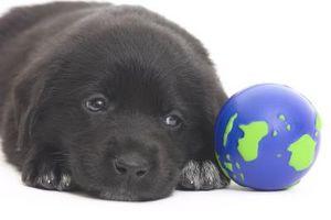 Problemas de pelo gris en el Labrador Retriever