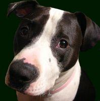 Cómo hacer una página web para un Pit Bull de la perrera