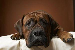 Lo que es el más largo de un perro puede recordar?
