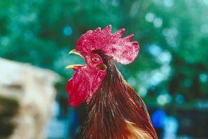 Cómo mantener a un gallo de morder el cuello de una gallina