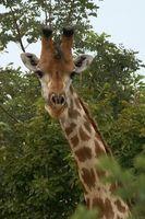 Datos acerca de los patrones de migración de las jirafas
