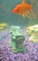 El crecimiento de capsulado rojo del Goldfish