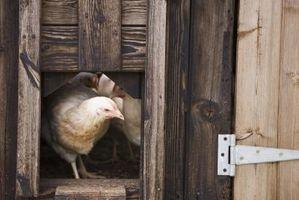 Cómo elegir una raza de pollo o gallina