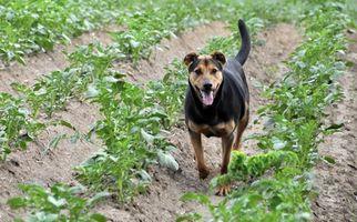 Enfermedad de Cushing y Herbicidas de en los perros