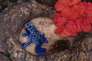 Cómo criar y raza ranas
