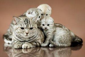 ¿Cuáles son los síntomas de un gato con trabajo de parto?